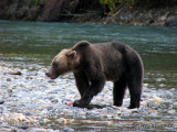 Grizzly Bear with chum salmon 2a.jpg