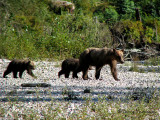 Grizzly Bear sow and cubs 1a.jpg