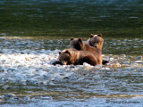Grizzly Bear cubs 1a.jpg