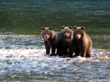 Grizzly Bear cubs 2a.jpg