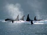 Orcas 5a.jpg