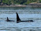 Orcas 8a.jpg