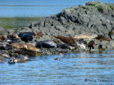 Harbour Seals 1a.jpg
