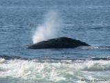 Gray Whale 1a.jpg