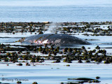Gray Whale in kelp bed 1a.jpg
