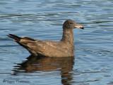 Heermanns Gull juvenile 1a.jpg