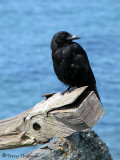 Northwestern Crow 3a.jpg