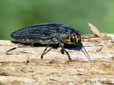 Metallic Wood-boring Beetles - Buprestidae of B.C.