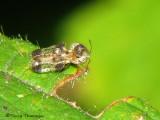 Lace Bugs - Tingidae of B.C.