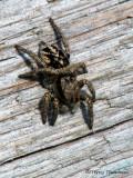 Jumping Spider A1a.jpg