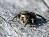 Jumping Spider B5a.jpg