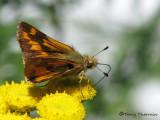 Skippers - Hesperiidae of B.C.