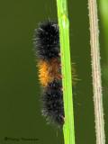 Tiger Moths - Erebidae of  B.C.
