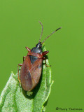 Gastrodes sp. - Seed bug A1a.jpg