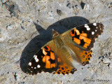 Brush-footed Butterflies - Nymphalidae of B.C.