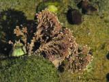Coral Leaf Seaweed - Bossiella sp. A1a.JPG