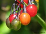 Berries 1a.jpg