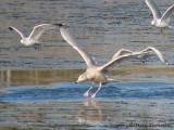 Glaucous Gull in flight 1a copy.jpg