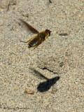 Poecilanthrax sp. - Bee fly in flight B3a.jpg