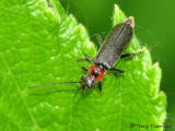 Soldier Beetles - Cantharidae