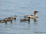 Common Merganser female and young 3a.jpg
