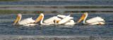 White Pelicans 3b.jpg
