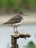 Spotted Sandpiper 14a.jpg