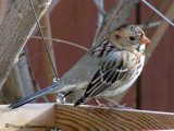 Harris's Sparrow in feeder 2a.jpg