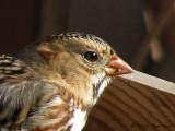 Harris's Sparrow portrait 1.jpg
