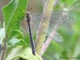 Brachynemurus abdominalis - Antlion A1a.jpg