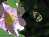 Bombus moderatus, bumblebee in flight 1a.jpg