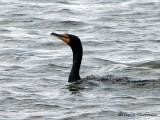 Double-crested Cormorant 8a.jpg