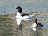 Common Merganser pair 1a.jpg