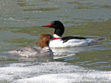 Common Merganser pair 2a.jpg