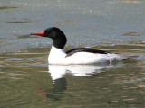 Common Merganser 1a.jpg