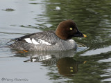 Common Goldeneye female 13a.jpg
