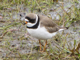 Semipalmated Plover 3a.jpg
