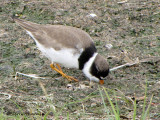 Semipalmated Plover 7a.jpg