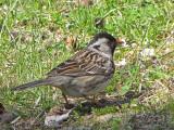 Harris's Sparrow 1a.jpg