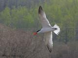Caspian Tern in flight 2a.jpg