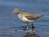 Spotted Sandpiper 7a.jpg