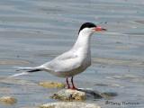 Common Tern 9a.jpg