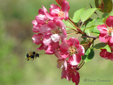 Bombus sp. - Bumblebee and Crabapple Blossoms 1a.jpg