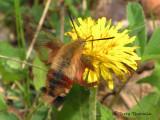 Hemaris thysbe - Hummingbird Clearwing 4a.jpg