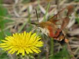 Hemaris thysbe - Hummingbird Clearwing 7a.jpg