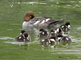 Common goldeneye female and chicks 5a.jpg