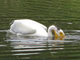 American White Pelican 7a.jpg