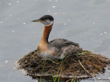 Red-necked Grebe on nest 1b.jpg