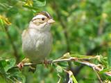 Clay-colored Sparrow 15a.jpg