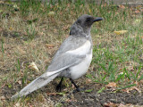 Black-billed Magpie ghost bird 4a.jpg
